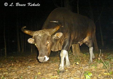 Banteng bull in Safapha