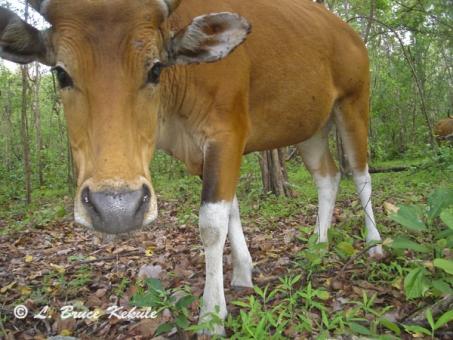 Banteng Cow in Safapha