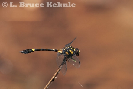 Dragonfly in Thung Yai
