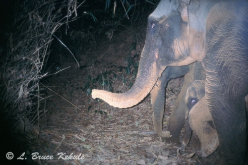 Elephants camera trapped in Sai Yok