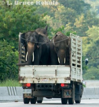elephants-on-a-truck-in-chiang-mai