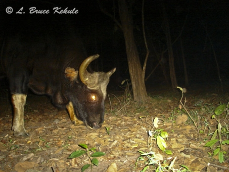 Gaur bull in Safapha