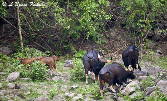 Gaur herd in Huai Kha Khaeng Wildlife Sanctuary