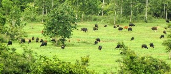 gaur-herd-in-kui-buri-np-w