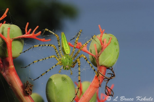 green linx spider in Lampoon province