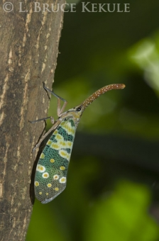Lantern bug in Chiang Mai