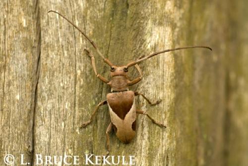 longhorn-beetle