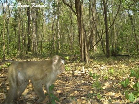 Macaque near Safapha