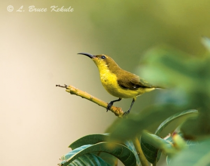 Olive-backed sunbird female in Sai Yok