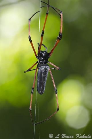 Orb spider in Huai Kha Khaeng