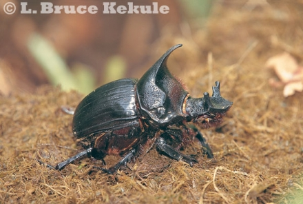 Rhinoceros beetle in Salak Phra