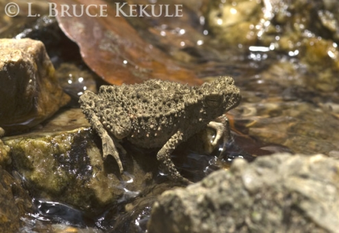 Horny amphibian in Kaeng Krachan