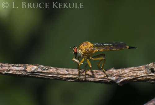 Robber fly with prey in Tak