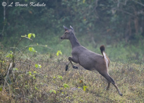 Sambar doe on the run in Huai Kha Khaeng