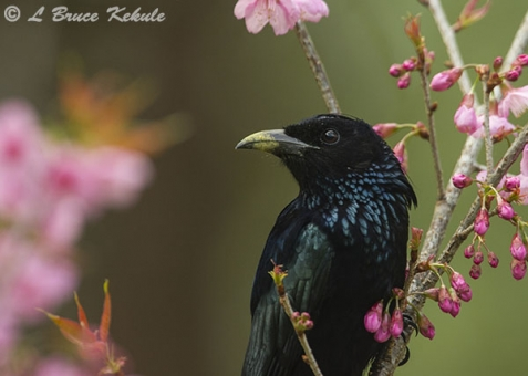 Spangled drongo in Doi Chiang Dao