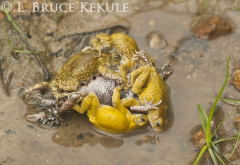 Tree frogs mating in Huai Kha Khaeng
