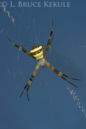 Wasp spider in Chiang Mai