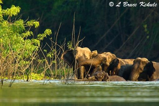 Elephants in Huai Kha Khaeng3