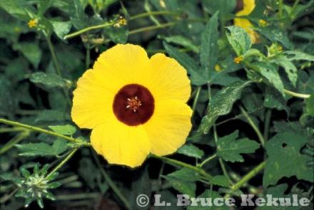 Wild hibiscus flower in Huai Kha Khaeng