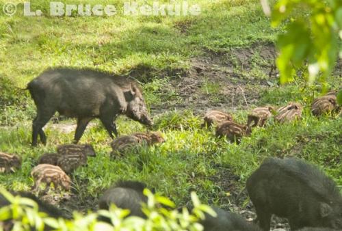 Wild pig and piglets in Huai Kha Khaeng