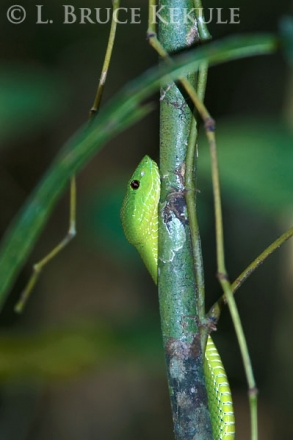 Yellow-bellied pit viper in Kaeng Krachan