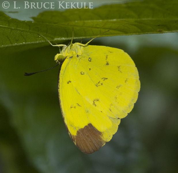 Butterfly in Thung Yai