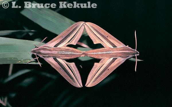 Hawk moths mating in Huai Kha Khaeng