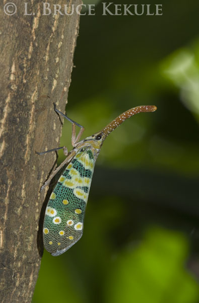 Lantern bug in Chiang Mai