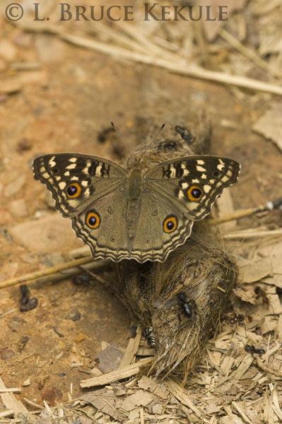 Pansi butterfly on tiger scat