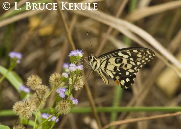 Butterfly in Thap Lan