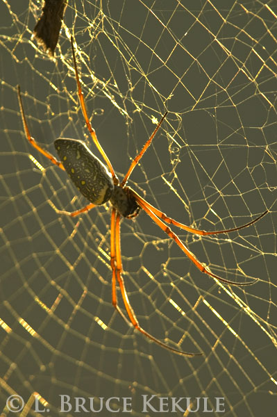 Orb spider in Cambodia