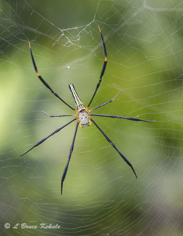 Orb-web spider in Chiang Mai