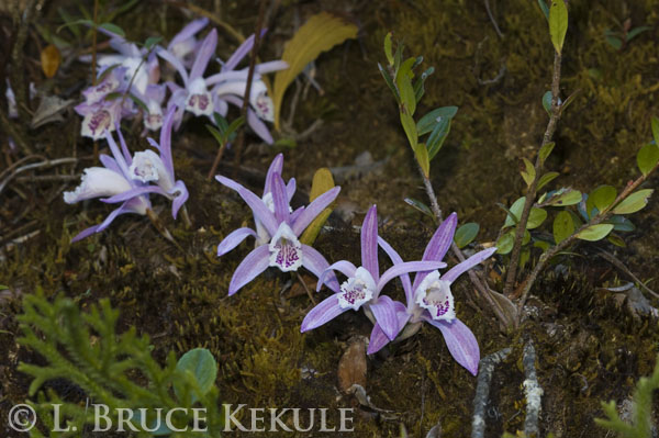 Orchids in Doi Inthanon