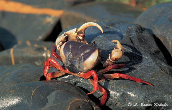 Regal crab in Sai Yok