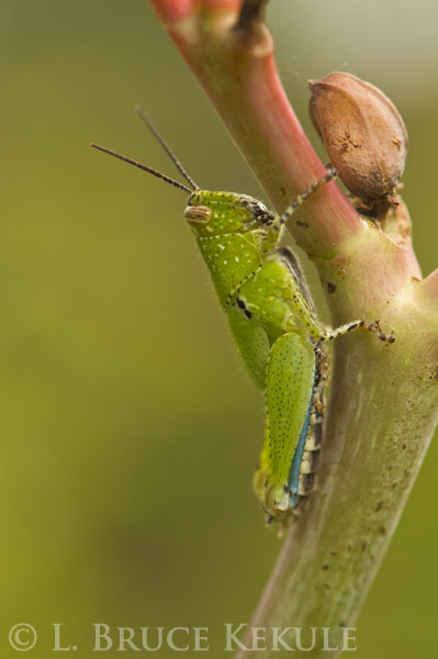 Grasshoper in Lampoon