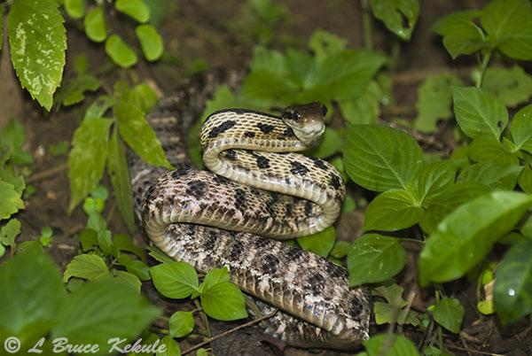 Siamese Cat Snake in Thung Yai