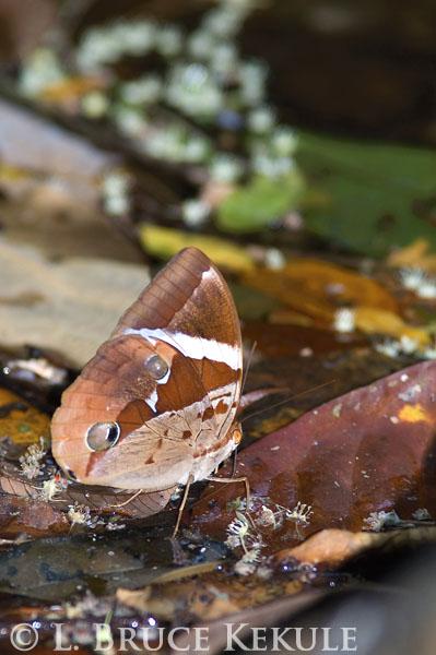 Thairus butterfly