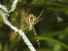 Argiope spider in Thung Yai