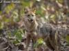 Asiatic jackal in HUai Kha Khaeng Wildlife Sanctuary