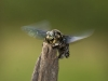 Carpenter bee in Sai Yok