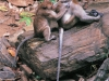 Crab-eating macaques in Sai Yok