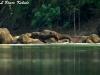Elephants in Huai Kha Khaeng2