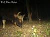 gaur-bull