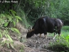 Gaur cow in Kaeng Krachan National Park
