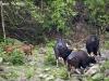 Gaur herd in Huai Kha Khaeng Wildlife Sanctuary
