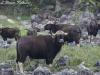 Gaur herd in Huai Kha Khaeng