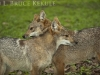 Asiatic jackals in Huai Kha Khaeng