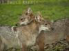 Asiatic jackals in Huai Kha Khaeng