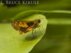 skipper-butterfly