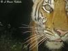 Female tiger by W55/1020